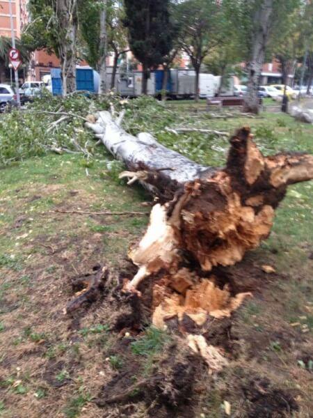 Arbre caigut al carrer Austràlia.JPG