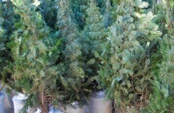 arbre nadal.JPG